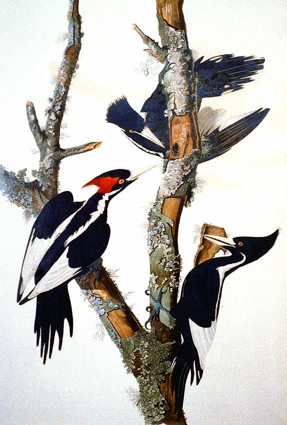 Painting by John James Audubon